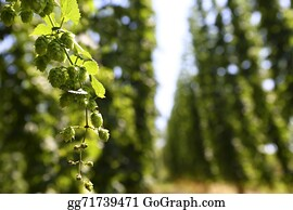 Cultivation - Cultivation Of Hops
