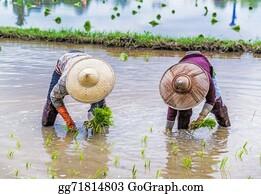 Plantation - Farmer Transplant Rice Seedlings On Field In Rural Thailand.
