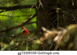 Cardinal-Bird - Northern Cardinal