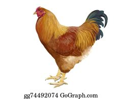 Hen - Small Breed Hen