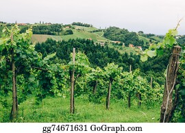 Cultivation - Grapevine Cultivation In Southern Styria