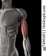 Biceps -  Biceps Brachii
