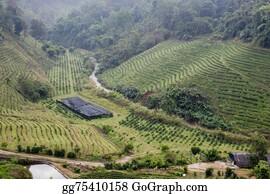 Plantation - Green Tea Plantation Landscape