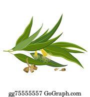 Eucalyptus - Eucalyptus Leaves, Flower And Seeds