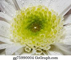 Chrysanthemum - White Chrysanthemum Closeup
