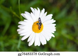 Rhinoceros-Beetle - Daisy With A Small Insect