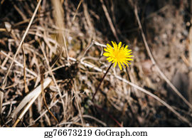 Bush-Of-Wild-Flowers - Dandelion With Dry Grass Background