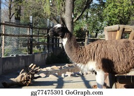 Alpaca - Animal Photo