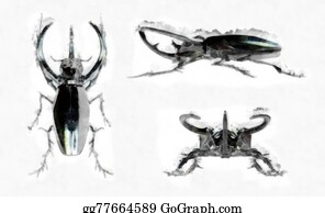 Rhinoceros-Beetle - Black Rhinoceros Beetle