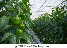 Cultivation - Cultivation Of Bell Peppers
