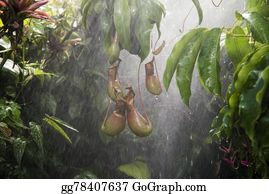 Tropical-Rainforest - Pitcher Plant In Tropical Rain Forest