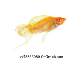 Poecilia - Molly Fish Isolated On The White Background