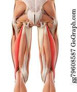 Biceps - The Biceps Femoris Longus