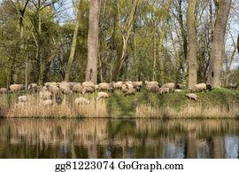 Border-Collie - Flock Of Sheep In Belgium