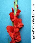 Gladioli - Red Gladiolus Flowers