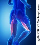 Biceps - Biceps Femoris - Human Muscle Anatomy