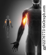 Biceps - Biceps Brachii - Anatomy Muscles Map