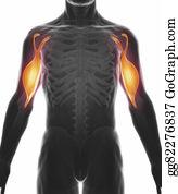 Biceps - Biceps Brachii - Muscle Anatomy Isolated