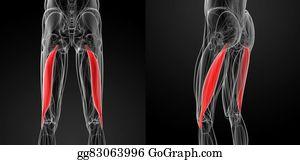 Biceps - Medical  Illustration Of The Biceps Femoris