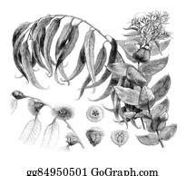 Eucalyptus - Details Eucalyptus Globulus, Vintage Engraving.
