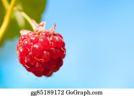 Boysenberry - Macro Shot Of A Single, Ripe Boysenberry Hanging Against The Sky