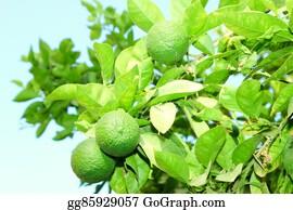 Plantation - Orange Green Tree