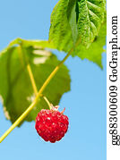 Boysenberry - Single, Ripe Raspberry Hanging Against The Sky