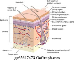 cross section of human skin
