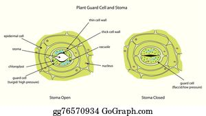 EPS Illustration - Labelled diagram of plant palisade cell ...