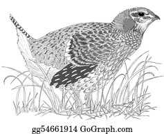 Sage grouse drawing - photo#31